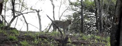 Honigdachs Leopard