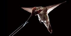 Kolibri trinken fliegen Zeitlupe