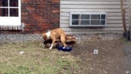 Hund humping
