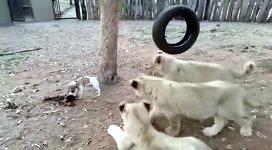 kleiner Hund gegen Löwen