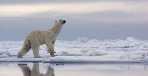 Polarbär Robbe Jagd