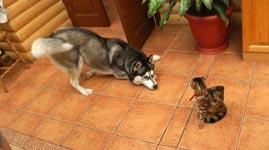 Husky, Katze