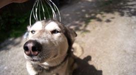 Husky, Massage