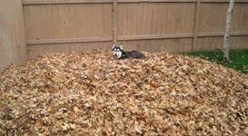 Husky, Laubhaufen