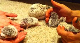 igel babys, Hedgehog Babies