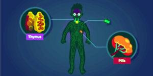 Immunsystem erklärt