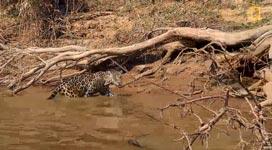 Jaguar, Krokodil