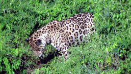 Jaguar Kaimane
