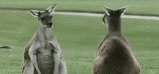 Känguru, Eier, Hoden