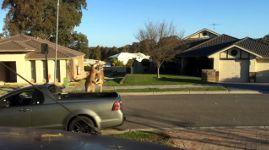 Känguru Kampf Australien