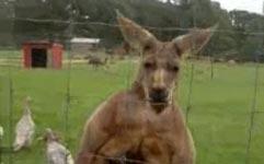 Känguru auf Anabolika