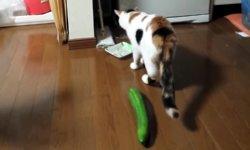 Katze Pussy Gurke