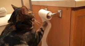 Katze, Klopapierrolle