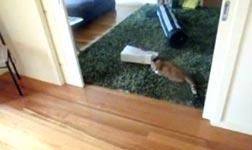 Katzen Laser-Bowling
