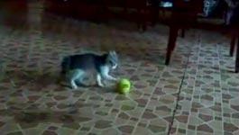 kätzchen, tennisball
