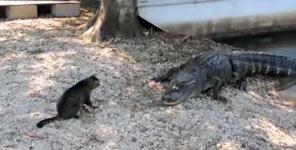 cat, Katze, Krokodil, alligator, fressen