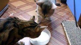 Katzen Milchschüssel