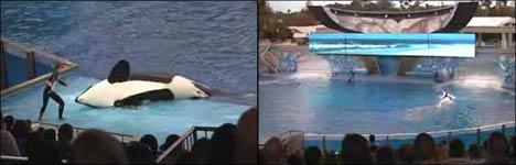 killerwal, orca, meeresshow, fische, eintrittskarten, tickets