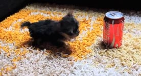 der kleinste hund der welt the world 39 s smallest dog videos. Black Bedroom Furniture Sets. Home Design Ideas
