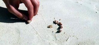 Krabbe Muschel