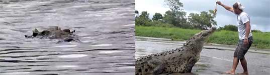 Krokodil füttern