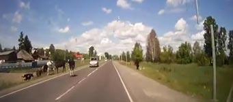 Kühe, Paarung, Unfall