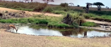 Gazelle Löwe Jagd Fail