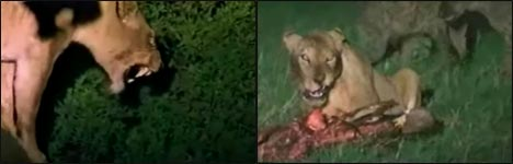 lion vs hyena