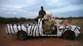 Löwen, Zebraauto, tierpark