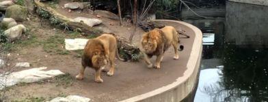 Löwe Wassergraben