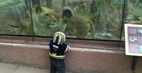 Löwe, Kind, Scheibe, fressen