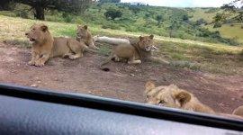 Löwe öffnet Autotür