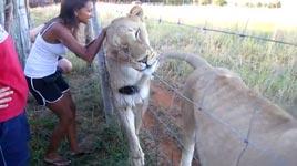Löwen, Zaun, Kuss
