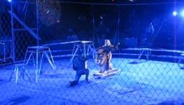 Löwen Angriff Zirkus