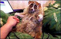 loris, lemur