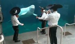 Mexikanisches Ständchen für einen Beluga Wal