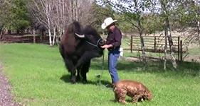 Büffel als Haustier