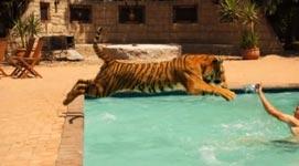Tiger, Pool, schwimmen