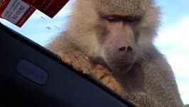 Affe Angriff Penis Mallorca