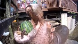 Nilpferd isst Wassermelone