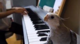 Nymphensittich singt Song