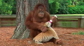 Babysitter Orang-Utan Tiger