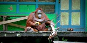 Orangutan Säge