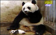 panda bär, panda software, zoo, tierpark