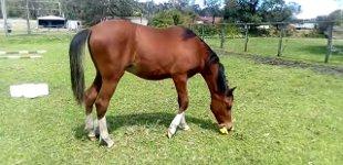 Pferd Gummihuhn