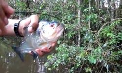 Piranha, Schere