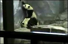 prison break, panda, ausbruch