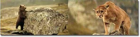 Puma vs. Kleiner Bär