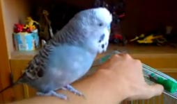 R2D2 Wellensittich, budgie