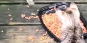 Waschbär stiehlt Katzenfutter